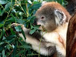 Eucalyptus with koala