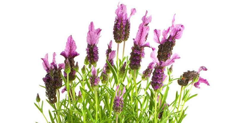 lavender-on-the-white-background